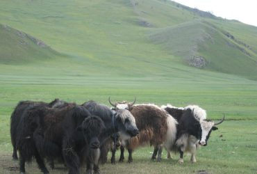 Монгол сарлагийн хөөвөр ямааны ноолуурыг орлох боломжтой юу?